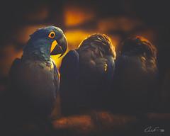 ARARA-AZUL (elvio9) Tags: brids bird nature fineart