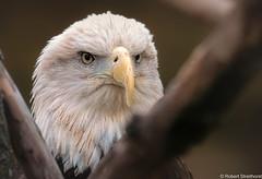 Golden Eyes (Robert Streithorst) Tags: baldeagle beak bird cincinnatizoo eyes feathers fowl head robertstreithorst zoosofnorthamerica