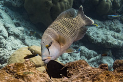 Napoleon Wrasse (davee10101) Tags: 2019 cheilinusundulatus fish kuramathi maldives napoleonwrasse alifalifatoll