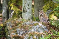 Eurasian Lynx (The Wasp Factory) Tags: eurasianlynx lynx eurasischerluchs nordluchs luchs lynxlynx tierfreigeländelusen tierfreigelände lusen bavarianforestnationalpark bavarianforest nationalpark nationalparkbayrischerwald bayrischerwald wildpark tierpark wildlifepark