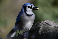 850_0708  Blue Jay (laurie.mccarty) Tags: bluejay bird bokeh nature naturephotography wildlife birdwatcher nikon nikond850 portrait closeup