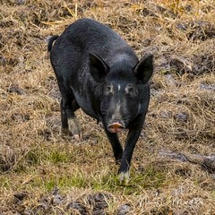 babcock_fb_012018-12 (ccgrin) Tags: 2018 animals babcockwildernessadventure feralpig florida mammal nature pointsofinterest puntagorda touristattraction wildlife unitedstates