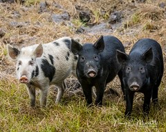 babcock_fb_012018-10 (ccgrin) Tags: 2018 animals babcockwildernessadventure feralpig florida mammal nature pointsofinterest puntagorda touristattraction wildlife unitedstates