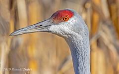 Sandhill Crane Portrait IMG_9505 (ronzigler) Tags: birdwatcher wildlife nature avian bird crane sandhill