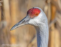 Sandhill Crane Portrait IMG_9515 (ronzigler) Tags: birdwatcher wildlife nature avian bird crane sandhill