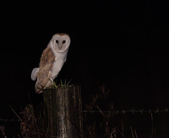 Barn Owl (ukmjk) Tags: barn owl night road nikon nikkor d750 500mm pf f56 vr bird