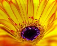 Yellow (L@nce (ランス)) Tags: yellow flower macro micro nikkor nikon