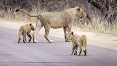 cubs (Adam John Evans Photo) Tags: d810 nikon lions animals wildlife nature safari southafrica kruger