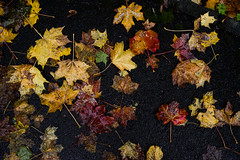 Fallen (OzzRod) Tags: pentax k1 hdpentaxdfa28105mmf3556 leaves autumn fall colours footpath pattern newcastle england pentaxart