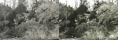 Jardin des Plantes stéréo plein format 23 (Dominik Lange) Tags: stereoscopy stereophotography stereoscopic stereography stereorig stereo3d jardindesplantes poetry parkcity paris publicspace nature underground urbannature urbanspace outdoor outside