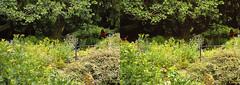 Jardin des Plantes stéréo plein format 19 (Dominik Lange) Tags: stereoscopy stereophotography stereoscopic stereography stereorig stereo3d jardindesplantes poetry parkcity paris publicspace nature underground urbannature urbanspace outdoor outside