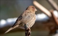 House Finch (Haemorhous mexicanus) with stink eye (Steve Arena) Tags: housefinch hofi finch haemorhousmexicanus bird birds birding backyard wachusettview westboro westborough worcestercounty massachusetts 2019 nikon d750