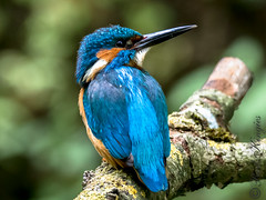 Kingfisher (Rods Kingies) Tags: ijsvogel halcyon kingfisher eisvogel alcedoatthis birds birdsinflight diving fish electricblue martinpêcheur vogel fugl tier iridescent river lake canal animal bird wasser water nature fauna wild wildlife rodskingies natur glück bluebirdofhappiness bluebird freude entspannung uk britain green blue fisch taucher räuber orange tree alcedines alcededoj alcedinidae alcédinidés martinspêcheurs martinschasseurs martinespescadores alciones martines malachietijsvogel cazadores cucaburras cruidín picapeixes martiños peixeiros martinpescatore alcedinidi kookaburra jégmadárfélék ijsvogels