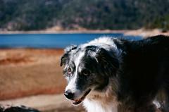 000034580037 (danteandcake) Tags: leicaflex film 35mm australian shepherd aussie big bear