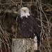 Blinky, my favorite Eagle (nickinthegarden) Tags: americanbaldeagle harrisonmillsbccanada