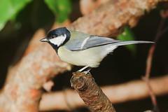 Great Tit (Dougie Edmond) Tags: bird tit nature wildlife ayr scotland unitedkingdom