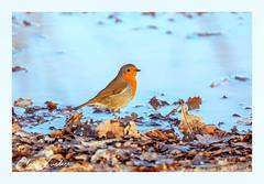 European robin (clarelusher) Tags: robin bird wildlife nature passerine british light sunlight water puddle washing drinking colourful erithacusrubecula
