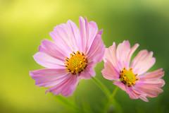 cosmos 0496 (junjiaoyama) Tags: japan flower cosmos plant autumn fall pink bokeh macro