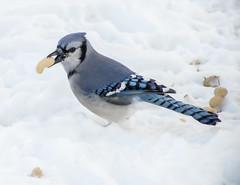 Finding Peanuts in the Snow (mahar15) Tags: jay birdfeeding snowcovered wildlife bluejay nature bird outdoors birdinsnow winter snow