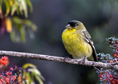 Waiting for the Feeder (Patricia Ware) Tags: california canon ef400mmf4doisiiusmlens handheld kennethhahnrecreationalarea lessergoldfinch losangeles spinuspsaltria ©2019patriciawareallrightsreserved specanimal