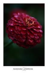 Red. (smoothna) Tags: red flower macro smoothna d90 nature flowerwatcher