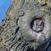 Petit-duc maculé-Screech-Owl DSC2461.jpg (marinagermain78) Tags: screechowl 11décembre2019 stecatherine petitducmaculé rapace oiseau