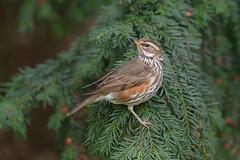 Redwing (Turdus iliacus) (Ben Stacey.) Tags: bird nature berries winter migrant tree branches wildlife wales nikonuk benstacey