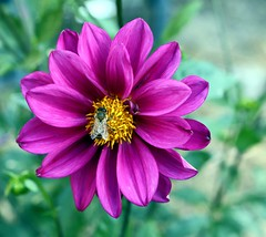 'Double Extreme' dahlia. A truly grape performer. (Swallowtail Garden Seeds) Tags: dahlia dahliavariabilis closeup purple annual flower flowers flowering blooming blooms daisy daisies plant planting garden gardening horticulture seeds summer grow growing find buy purchase bargain easy beds borders partshade containers pots doubleextreme double sun cutting cut bee insect edible