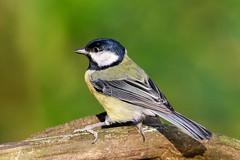 Great Tit (Dougie Edmond) Tags: ayr scotland unitedkingdom bird tit nature wildlife