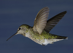 On The Hunt For Nectar (Bill Gracey 25 Million Views) Tags: calypteanna hummingbird hummer yongnuo yongnuorf603n manualflash bif birdinflight 6flashsetup backgroundlight bluebackground color colorful nature