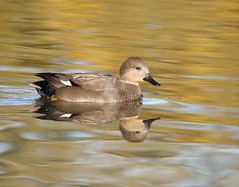 Gadwall (PhotoLoonie) Tags: wildlife nature gadwall duck waterbird waterreflection reflection