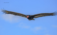 Turkey Vulture (Mike_FL) Tags: turkeyvulture nikon nikond7500 nature bird tamron100400mmf4563divcusda035 wildlife florida floridawildlife floridabirdingtrail photograph park image flight evergladesnationalpark