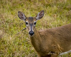 babcock_fb_012018-8 (ccgrin) Tags: 2018 animals babcockwildernessadventure deer florida mammal nature pointsofinterest puntagorda touristattraction whitetaileddeer wildlife unitedstates