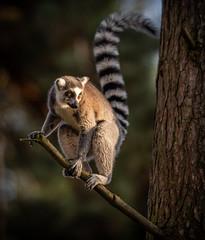 Lemur- In the Spotlight-1 (tiger3663) Tags: lemur yorkshire wildlife park spotlight