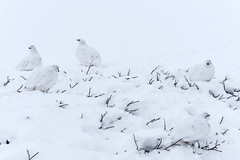 Ptarmigan(s) (Bernie Duhamel) Tags: ptarmigan bird colorado coloradowildlife wildlife frontrange greatphotographers teamsony rockymountains jamespeak13294feet ground snow winter bernie duhamel sony18105mmg sonya6300