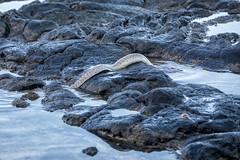 Moray Eel (sibnet2000) Tags: kailuakona hawaii eel morayeel muraenidae tidepool