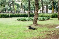 000039170021 (alexdotbarber) Tags: 145 70mmfocallength alamedacentral c41 cdmx centrohistorico contax contax3570mmf3556carlzeissvariosonnart contaxg2 mexico mexicocity analog autofocus colornegative dog f8 film filmphotography park perro straydog