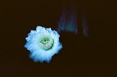 000034580035 (danteandcake) Tags: leicaflex film 35mm flower cactus