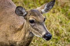 babcock_fb_012018-7 (ccgrin) Tags: 2018 animals babcockwildernessadventure deer florida mammal nature pointsofinterest puntagorda touristattraction whitetaileddeer wildlife unitedstates