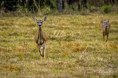 babcock_fb_012018-5 (ccgrin) Tags: 2018 animals babcockwildernessadventure deer florida mammal nature pointsofinterest puntagorda touristattraction whitetaileddeer wildlife unitedstates