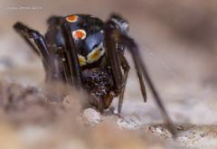 Black Widow & Web (strjustin) Tags: blackwidow arachnid spider insect bug beautiful macro mpe