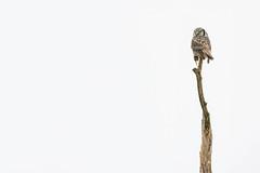 Northern Hawk Owl (ayres_leigh) Tags: owl hawkowl bird nature canon 100400mm wildlife lifer raptor birdofprey mouse highkey