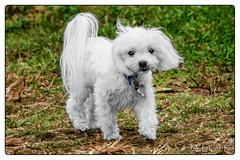 20191212-DSC01886-Edit.jpg (Jack Winter) Tags: mack dog dogpark park