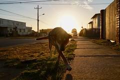 (Camusi) Tags: yearoff sabbatique sabbatical chile chili southamerica amériquedusud pichilemu pichi oneyearofsummer unandété diciembre decembre pacific pacifique street rue calle animals animaux light luz goldenhour soir evening latarde perro chien dog