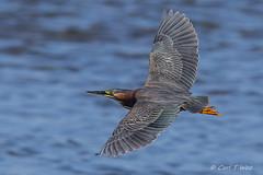 Green Heron (OC Birds) Tags: greenheron california wildlife bolsachica huntingtonbeach nature bird birdinflight animal
