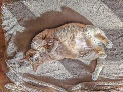 Mr. Tabby Cat (jolynne_martinez) Tags: kansascity mo unitedstatesofamerica cat tabby shadow light orange striped googlepixel pet