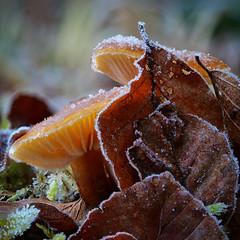 Wunder der Natur (Jens Schröter) Tags: deutschland de schwäbischealb badenwürttemberg wald natur pilz pilze mushroom fungi macro makro eis eiskristalle laub blätter