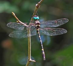 11th Day of Christmas Dragonflies:     Swift / Georgia river cruiser (Vicki's Nature) Tags: swiftrivercruiser 1977 macromiaillinoiensisgeorgina male big dragonfly blueeyes biello georgia vickisnature canon s5 flickr2019 christmas2019 greeneyes wings