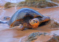 Hawaiian Green Sea Turtle (ashockenberry) Tags: wildlife wildlifephotography wild wilderness water reserve rocky travel tourism tropical exotic beautiful beauty nature naturephotography native natural habitat hawaiian green sea turtle oahu hawaii sand surf ocean