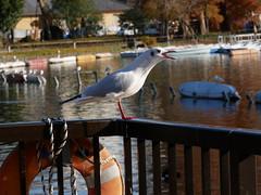 P1190386 (kneo_y) Tags: 上野 不忍池 カモメ dof 鴎 gull ueno pond shinobazu